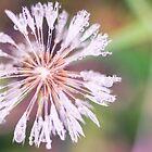 Dandelion  by DoraBirgis