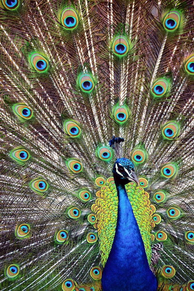 Pretty as a Peacock by Jeanne Sheridan