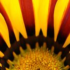 Red and yellow daisy by BigAndRed