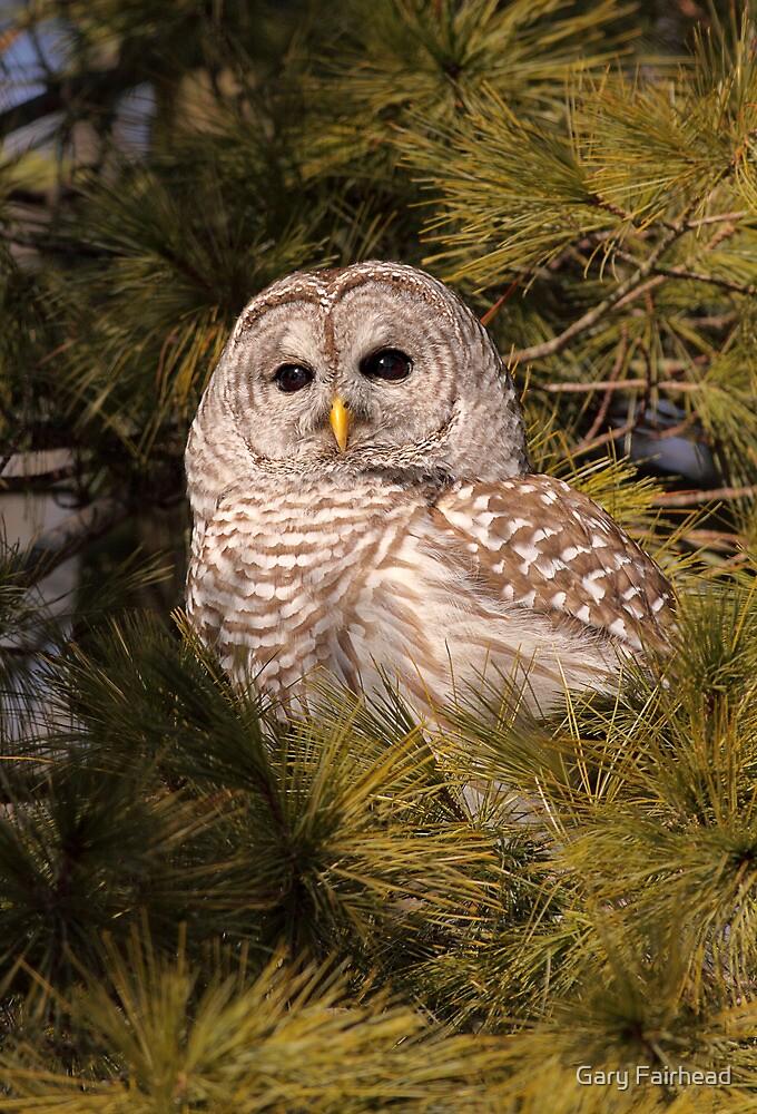 Dark Brown Eyes In The Evergreen / Barred Owl by Gary Fairhead