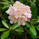 Rhododendron Bloom by LeeAnne Emrick