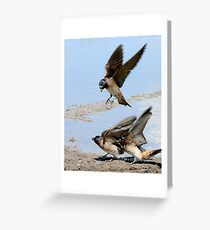 Cliff Swallows collecting mud for their nest Greeting Card