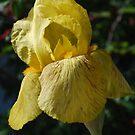 Iris in the Garden by Lozzar Flowers & Art