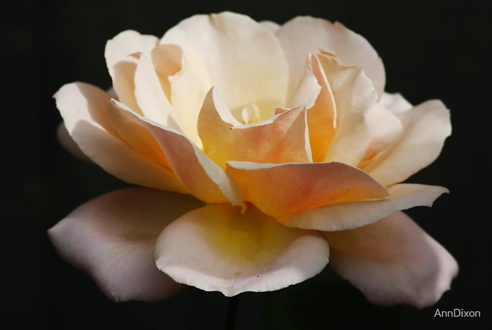 Peace Rose by AnnDixon