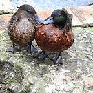 Kissing Ducks  by Martina Nicolls