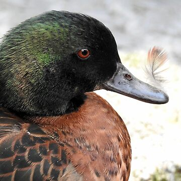 Feather on a duck's beak by martina