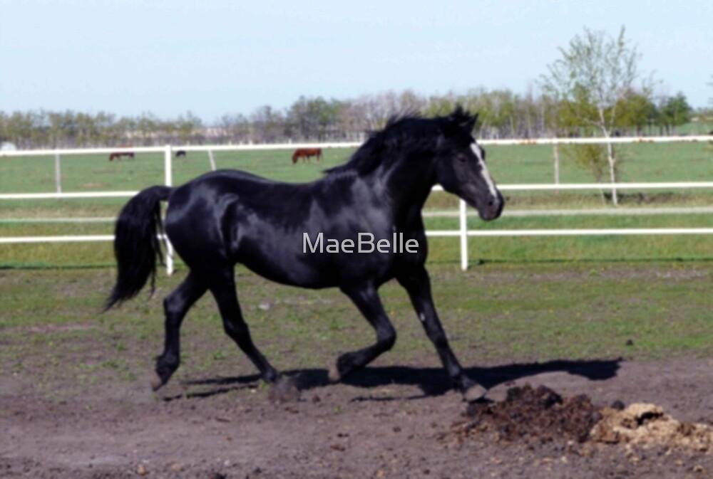 Morgan Stallion, by MaeBelle