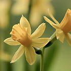 Frühling Narzissen von sunraiphoto