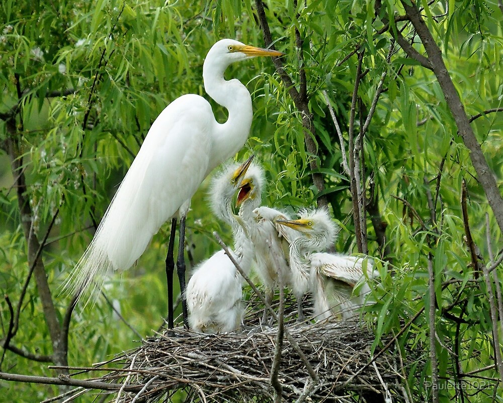 Egret with her Babies  by Paulette1021