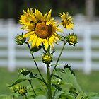 sonnige Sonnenblumen in Florida von Margaret Shark