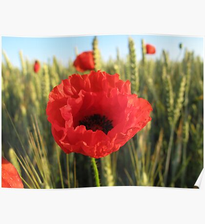 Poppy and Wheat Poster