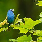 Indigo Bunting - Chaffey's Locks, Ontario by Michael Cummings