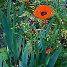 Poppy Stands out  by DIANE  FIFIELD