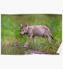 Timber Wolf Pup Poster