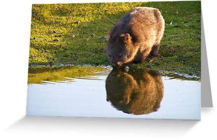 Wombat Reflection von Ian Robertson