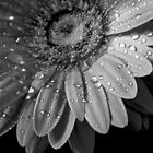 Gerbera Daisy - Black and White by ctheworld