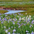 Iris and water by Jody Johnson