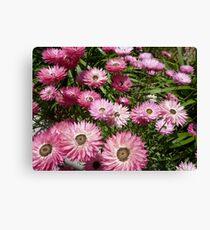 Paper daisy - Kings Park Perth Western Australia Canvas Print