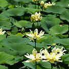 Lotus Pond 063 by Brenda Loveless