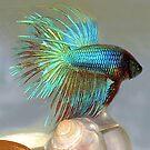 Wunderschöne Betta Fische (Siamesischer Kampffisch) von vette