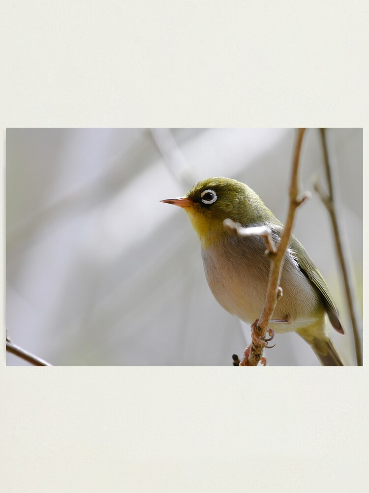 Alternate view of Silvereye Photographic Print