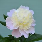 Weiche rosa und weiße Pfingstrose von Kathleen Brant