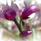 Magnolia Emerging by Len Bomba