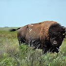 Bison Bull in Maxwell Wildlife Refuge by Catherine Sherman