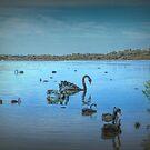 Black Swans at Lake Joondalup, Western Australia by Elaine Teague