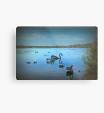 Black Swans at Lake Joondalup, Western Australia Metal Print