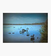 Black Swans at Lake Joondalup, Western Australia Photographic Print
