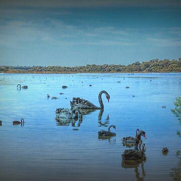Black Swans at Lake Joondalup, Western Australia by decoaddict