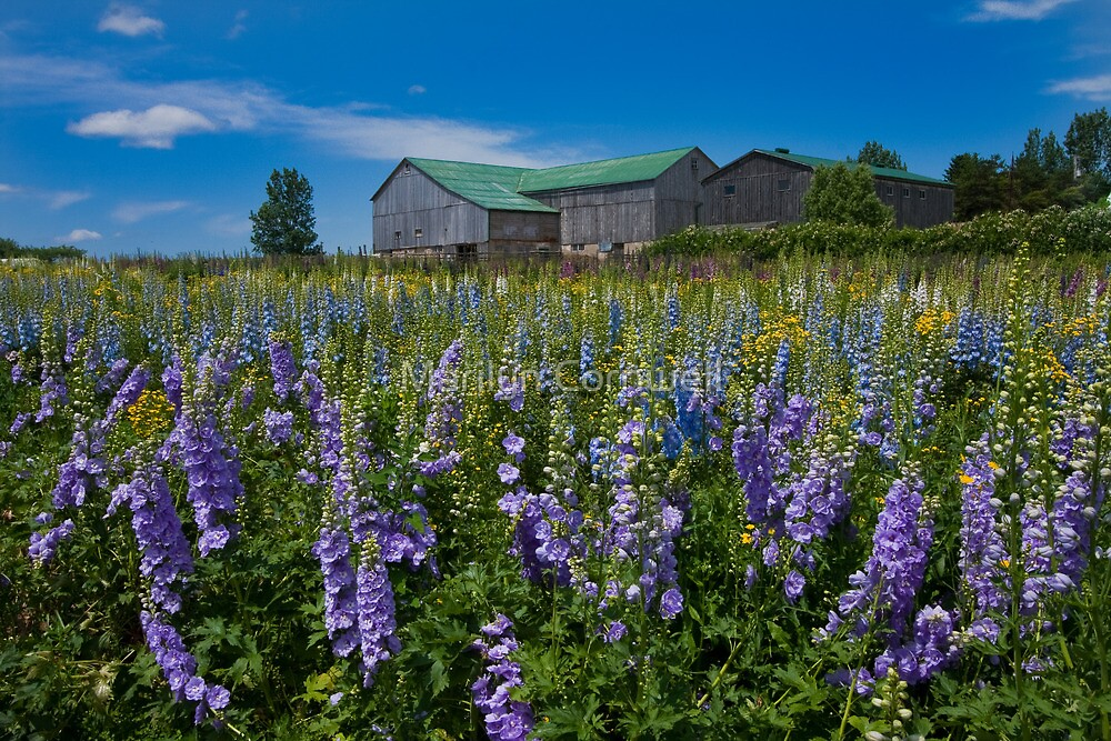It's A Delphinium Day by Marilyn Cornwell