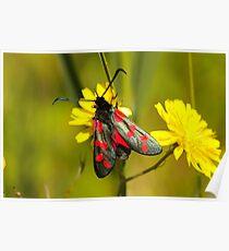 Burnet Moth Poster