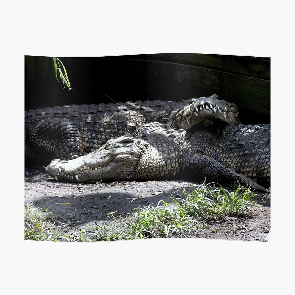Snuggling Alligators Póster