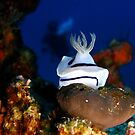 Nudibranch with Diver - Cuyo Island Philippines by Dive Seven .