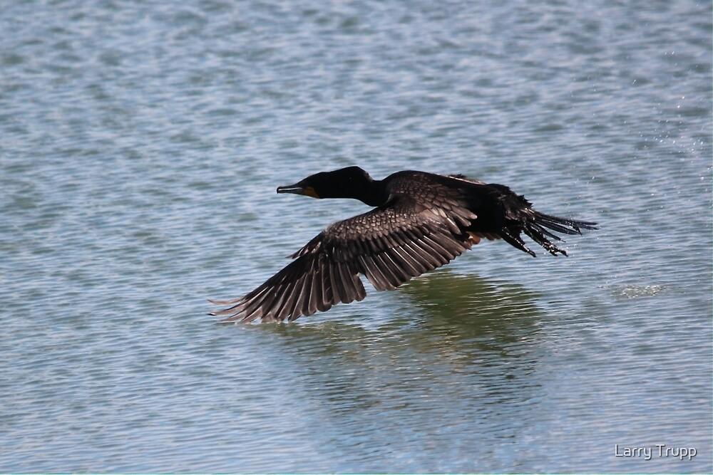 Cormorant in flight by Larry Trupp