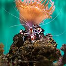 Shrimp Climbing An Anemone by Diego Re