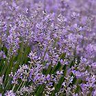 «Campo de lavanda, belleza violeta.» de KINKDesign