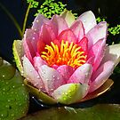 Water Lily Flower by ienemien