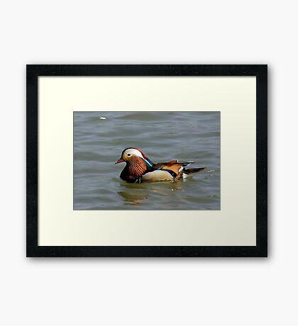 Mandrin Duck Framed Print