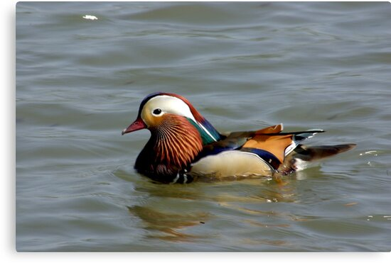 Mandrin Duck by Trevor Kersley