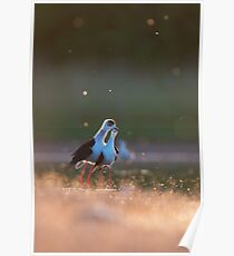 Black-winged stilts in the evening Poster