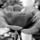 Roses Series 3 - Black and White by ctheworld
