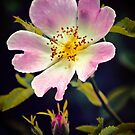 A Wild Rose by Vicki Field