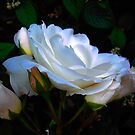 Rose of Many Colours by Dawn B Davies-McIninch