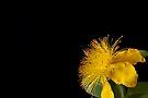 Fluffy Rose of Sharon by DonDavisUK