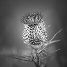 Thistle by Christine Wilson
