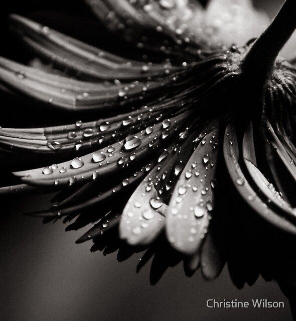 Gerbera by Christine Wilson