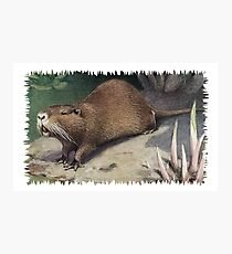 Painting of The Coypu, also known as the River Rat or Nutria.  Photographic Print